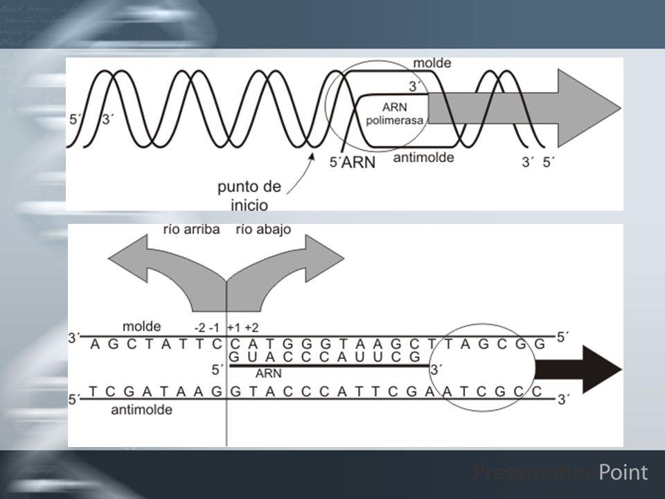 DIFERENCIAS EN LA TRANSCRIPCION DE PROCARIOTAS Y EUCARIOTAS Existe una sola ARN polimerasa procariota y tres ARN polimerasas eucariotas.