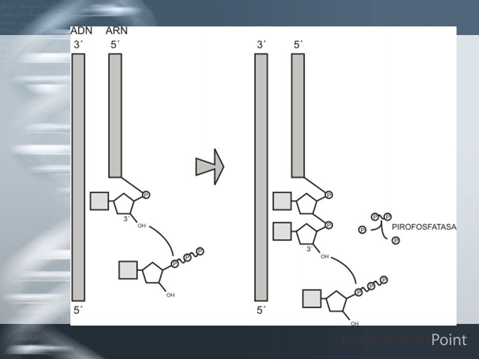 ARN PROCARIOTA Secuencias codificadoras continuas, pues carecen de intrones.