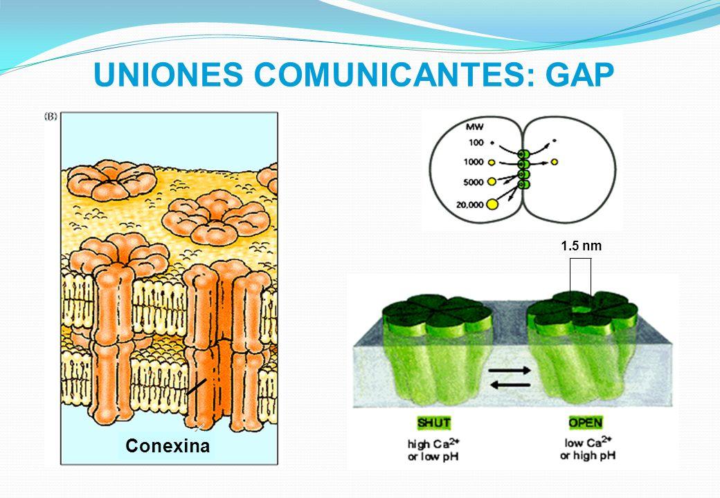 UNIONES COMUNICANTES: GAP 1.5 nm Conexina