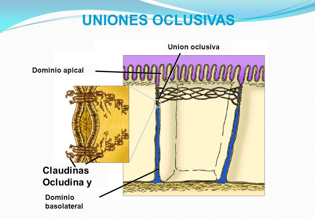 UNIONES OCLUSIVAS Dominio apical Union oclusiva Claudinas Ocludina y Dominio basolateral