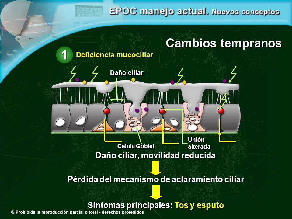 Daño ciliar, movilidad reducida Pérdida del mecanismo de aclaramiento ciliar Síntomas principales: Tos y esputo Cambios tempranos Daño ciliar Unión alterada alterada Célula Goblet Deficiencia mucociliar 1