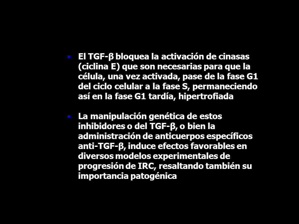 El TGF-β bloquea la activación de cinasas (ciclina E) que son necesarias para que la célula, una vez activada, pase de la fase G1 del ciclo celular a