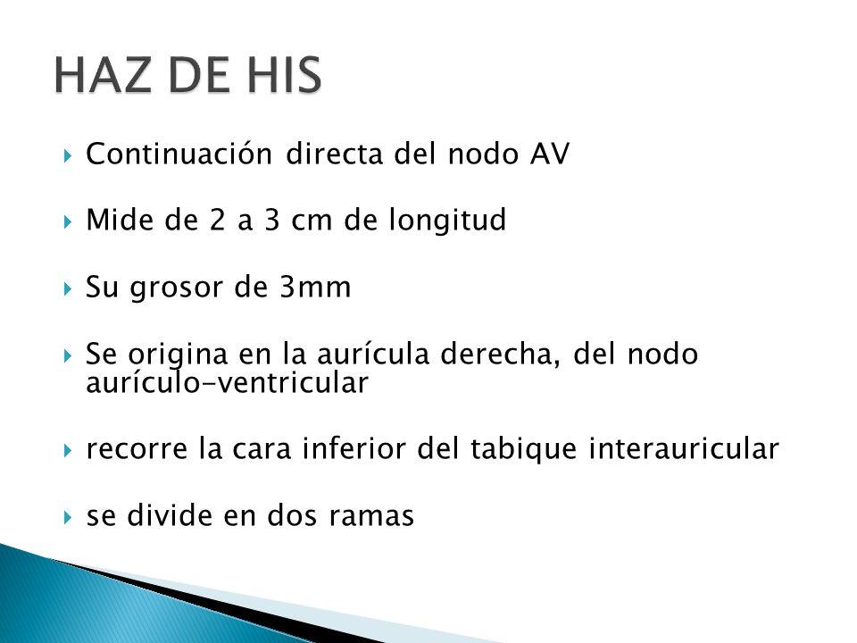 Continuación directa del nodo AV Mide de 2 a 3 cm de longitud Su grosor de 3mm Se origina en la aurícula derecha, del nodo aurículo-ventricular recorr