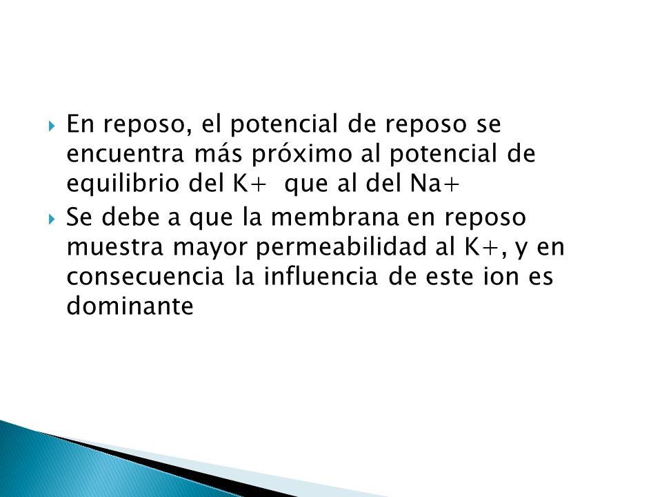 En reposo, el potencial de reposo se encuentra más próximo al potencial de equilibrio del K+ que al del Na+ Se debe a que la membrana en reposo muestr