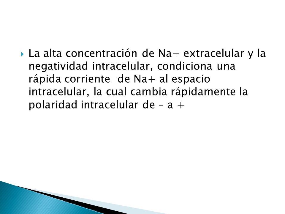 La alta concentración de Na+ extracelular y la negatividad intracelular, condiciona una rápida corriente de Na+ al espacio intracelular, la cual cambi