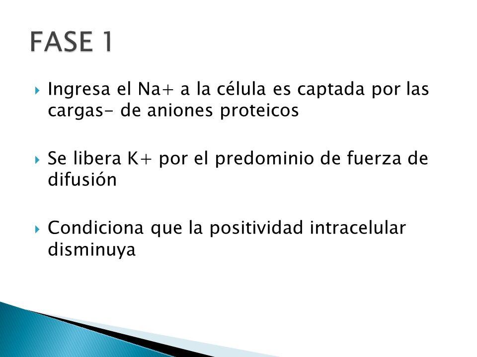 Ingresa el Na+ a la célula es captada por las cargas- de aniones proteicos Se libera K+ por el predominio de fuerza de difusión Condiciona que la posi