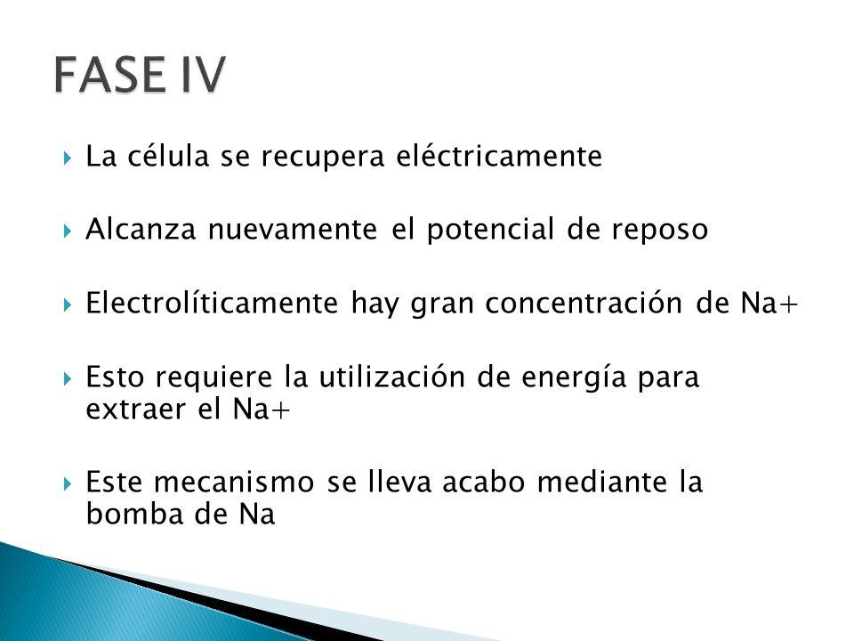 La célula se recupera eléctricamente Alcanza nuevamente el potencial de reposo Electrolíticamente hay gran concentración de Na+ Esto requiere la utili