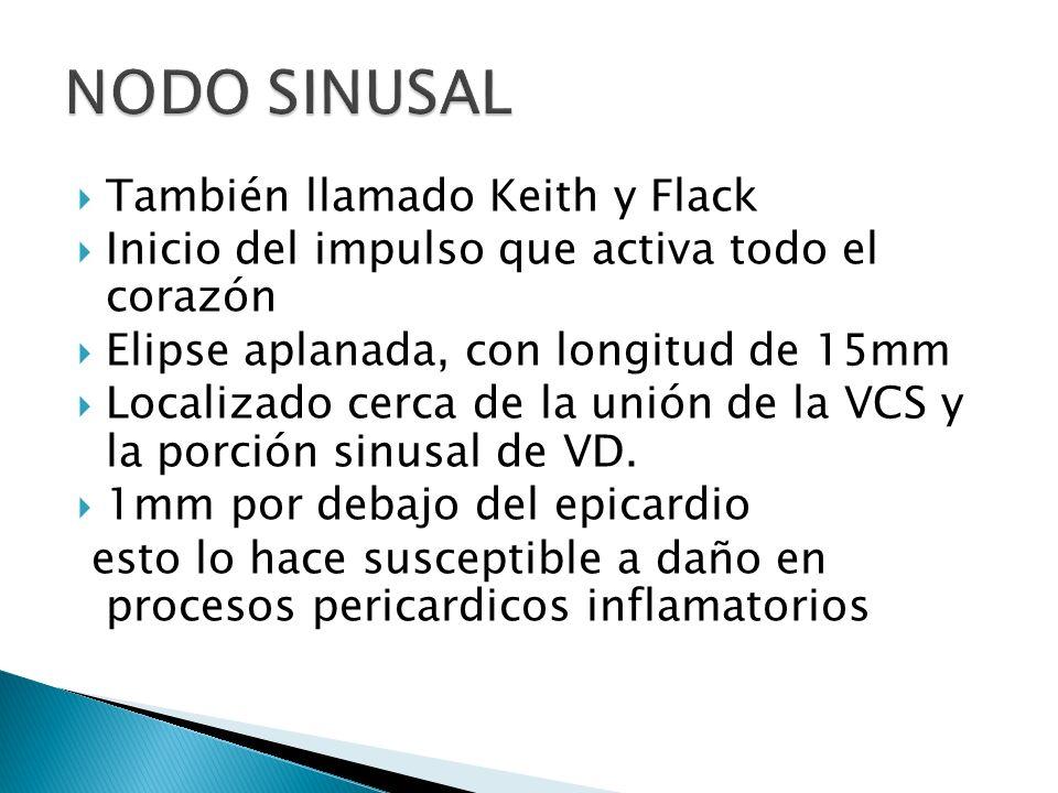También llamado Keith y Flack Inicio del impulso que activa todo el corazón Elipse aplanada, con longitud de 15mm Localizado cerca de la unión de la V