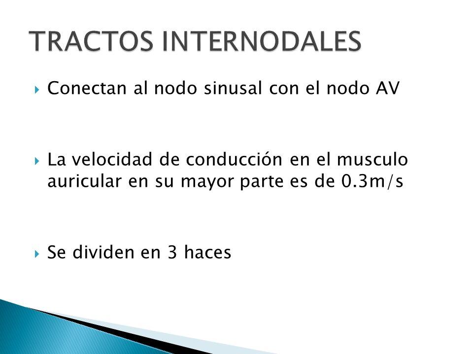 Conectan al nodo sinusal con el nodo AV La velocidad de conducción en el musculo auricular en su mayor parte es de 0.3m/s Se dividen en 3 haces