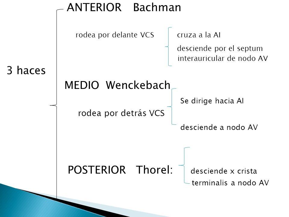 ANTERIOR Bachman rodea por delante VCS cruza a la AI desciende por el septum interauricular de nodo AV 3 haces MEDIO Wenckebach Se dirige hacia AI rod