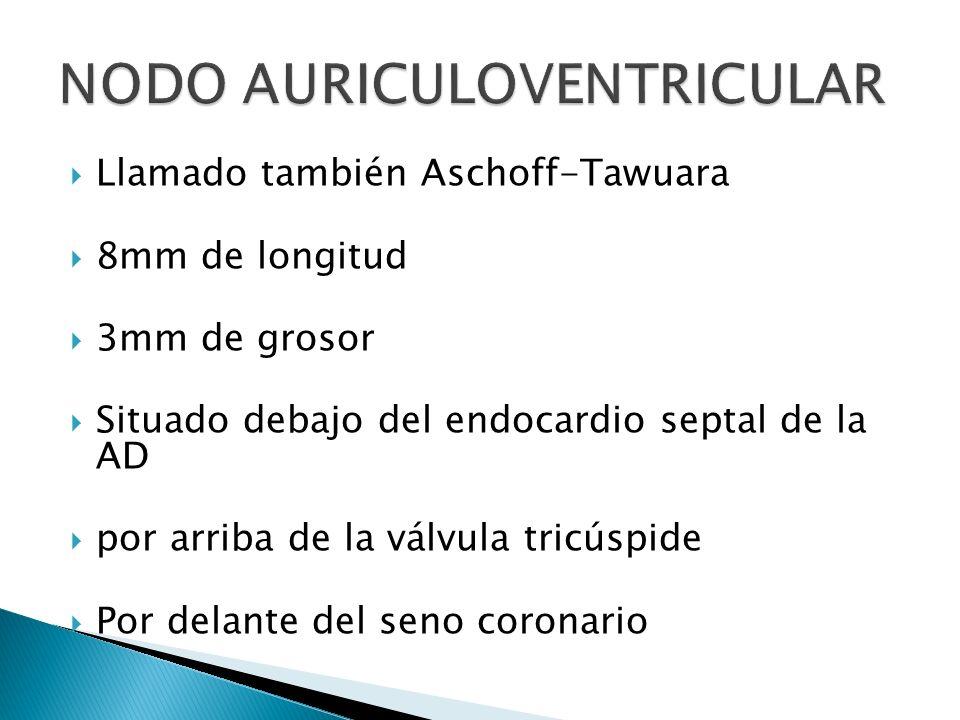 Llamado también Aschoff-Tawuara 8mm de longitud 3mm de grosor Situado debajo del endocardio septal de la AD por arriba de la válvula tricúspide Por de