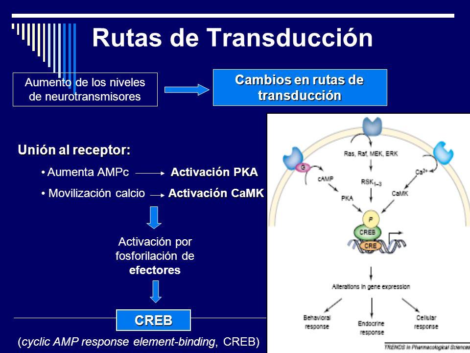 Rutas de Transducción Aumento de los niveles de neurotransmisores Cambios en rutas de transducción Unión al receptor: Activación PKA Aumenta AMPc Activación PKA Activación CaMK Movilización calcio Activación CaMK Activación por fosforilación de efectores CREB (cyclic AMP response element-binding, CREB)