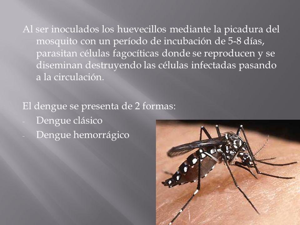 Al ser inoculados los huevecillos mediante la picadura del mosquito con un período de incubación de 5-8 días, parasitan células fagocíticas donde se r