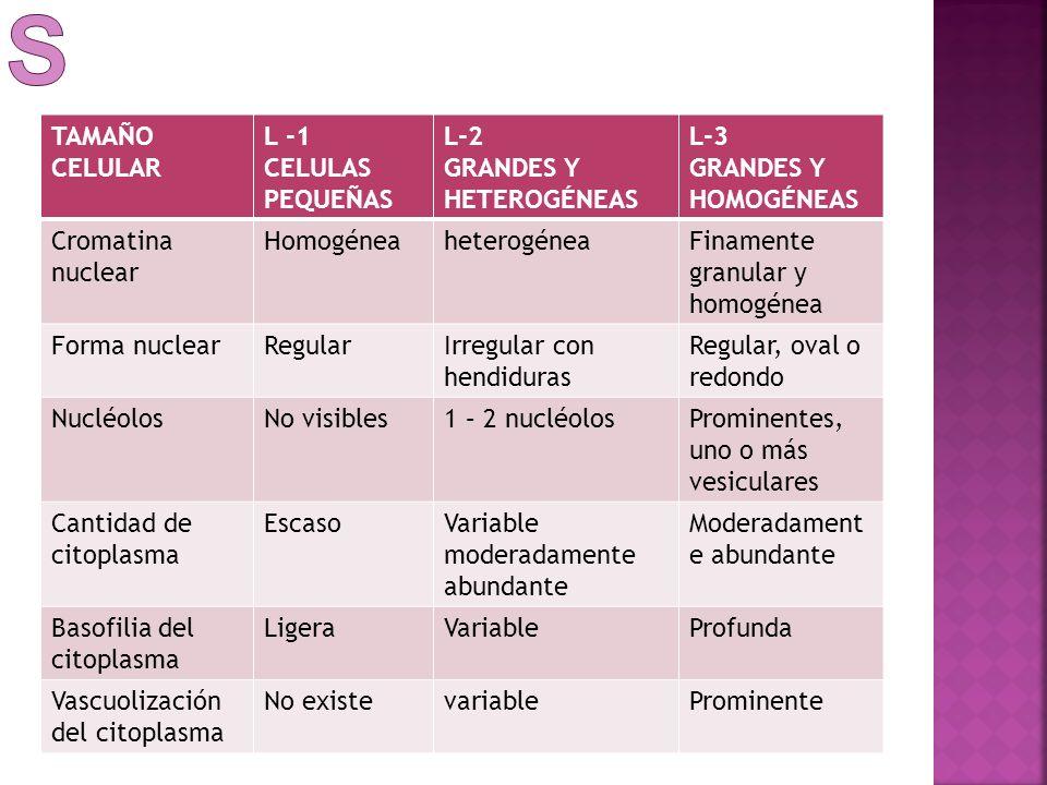 TAMAÑO CELULAR L -1 CELULAS PEQUEÑAS L-2 GRANDES Y HETEROGÉNEAS L-3 GRANDES Y HOMOGÉNEAS Cromatina nuclear HomogéneaheterogéneaFinamente granular y ho