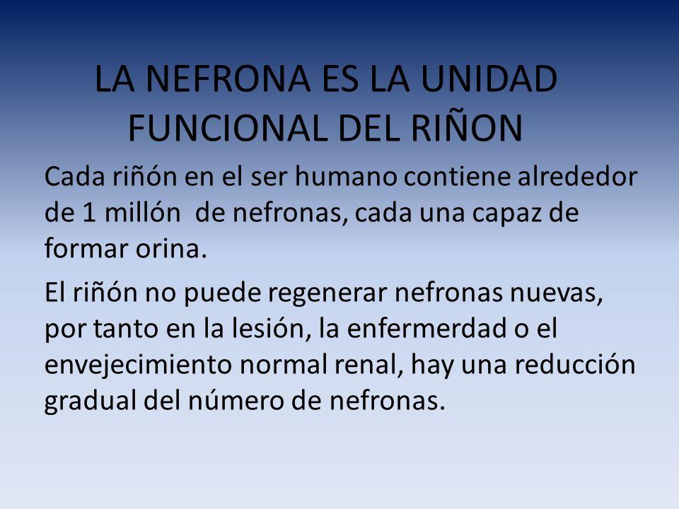 LA NEFRONA ES LA UNIDAD FUNCIONAL DEL RIÑON Cada riñón en el ser humano contiene alrededor de 1 millón de nefronas, cada una capaz de formar orina. El