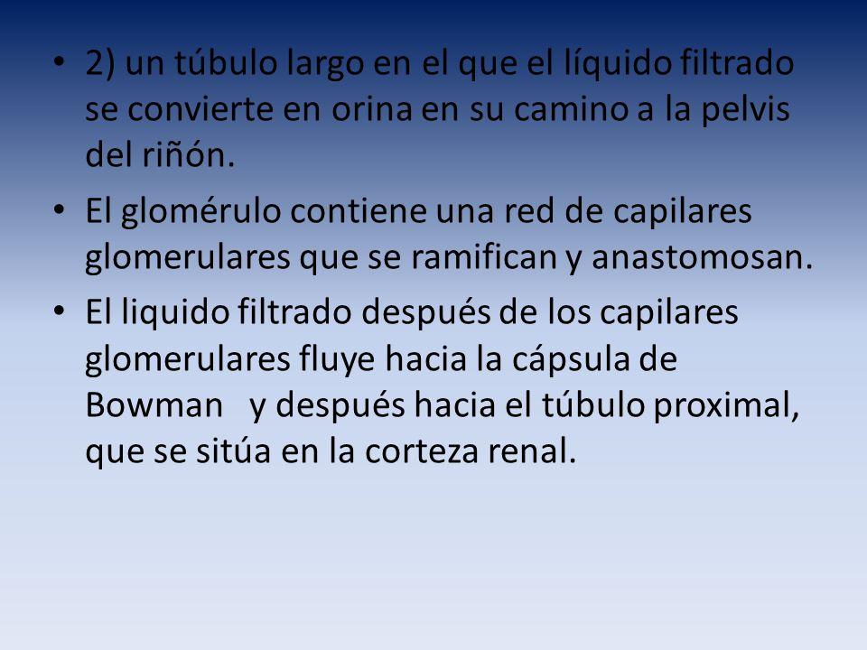 2) un túbulo largo en el que el líquido filtrado se convierte en orina en su camino a la pelvis del riñón. El glomérulo contiene una red de capilares