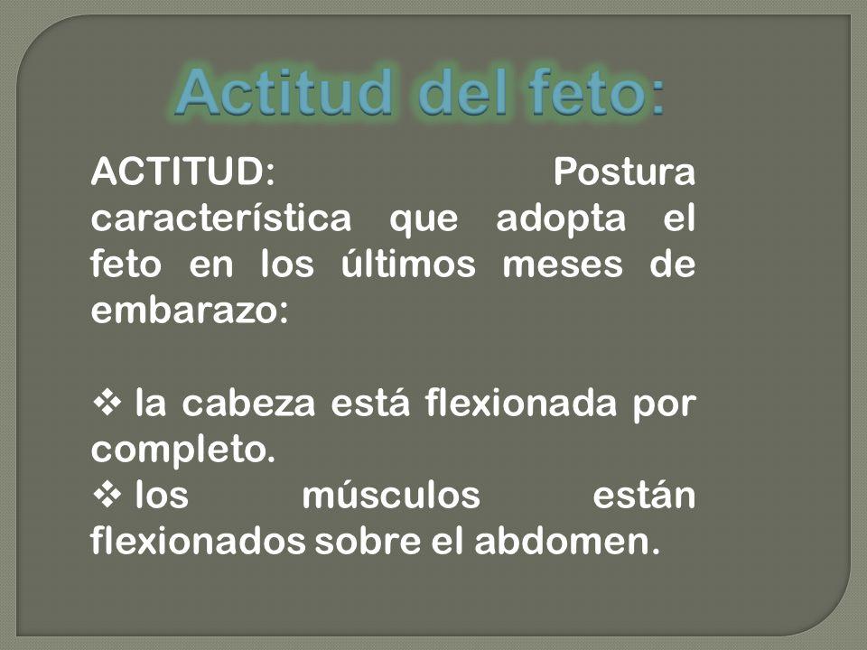 ACTITUD: Postura característica que adopta el feto en los últimos meses de embarazo: la cabeza está flexionada por completo. los músculos están flexio