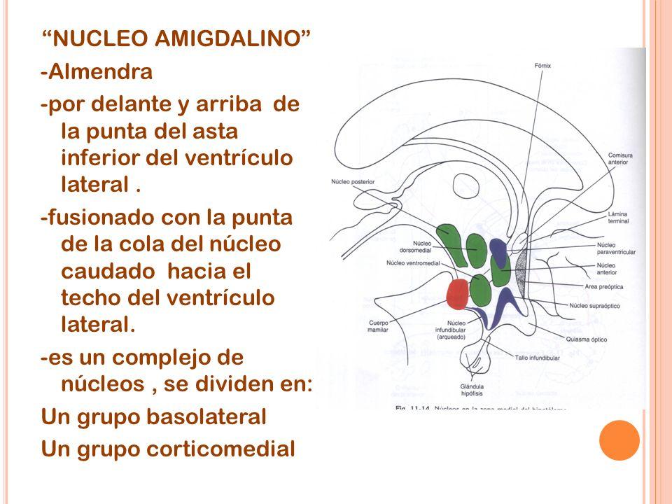NUCLEO AMIGDALINO -Almendra -por delante y arriba de la punta del asta inferior del ventrículo lateral. -fusionado con la punta de la cola del núcleo