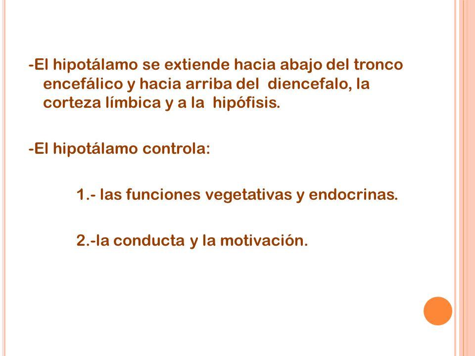 -El hipotálamo se extiende hacia abajo del tronco encefálico y hacia arriba del diencefalo, la corteza límbica y a la hipófisis.
