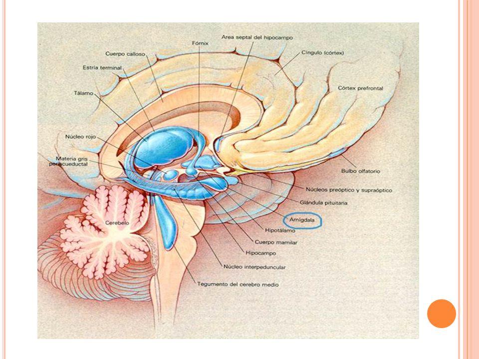 -REGULACION DE LA TEMPERATURA CORPORAL: Controlada por neuronas del área preoptica que permiten sentir los cambios de la temperatura de la sangre que fluye atraves del área.