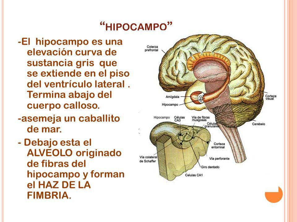 HIPOCAMPO -El hipocampo es una elevación curva de sustancia gris que se extiende en el piso del ventrículo lateral. Termina abajo del cuerpo calloso.