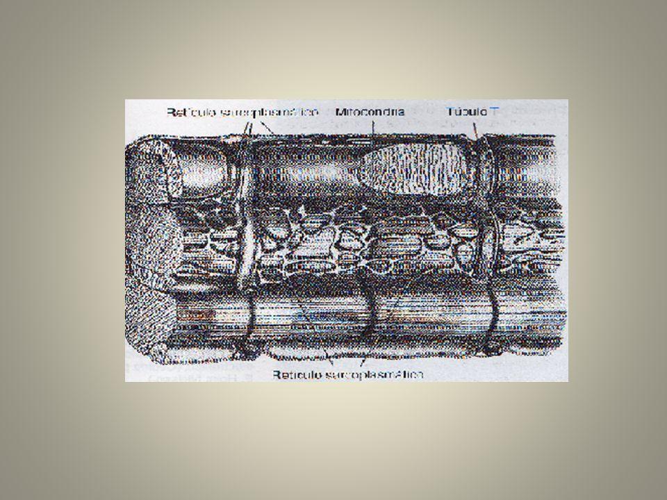 Sarcómero - Unidad estructural y funcional de contracción.