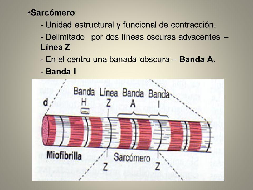 Dos tipos de miofilamentos: Filamentos más gruesos formados por la proteína miosina y atraviesan la banda A.
