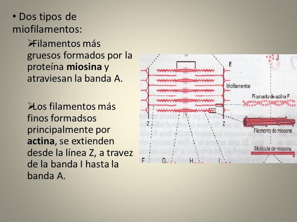 FUNCIÓN CONTRACTIL Produce un mecanismo de deslizamiento de los filamentos.