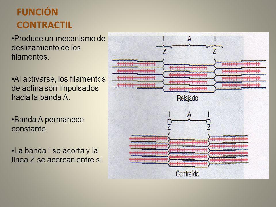 Molecula de miosina: Tiene una porción alargada y una porción globular en su extremo.