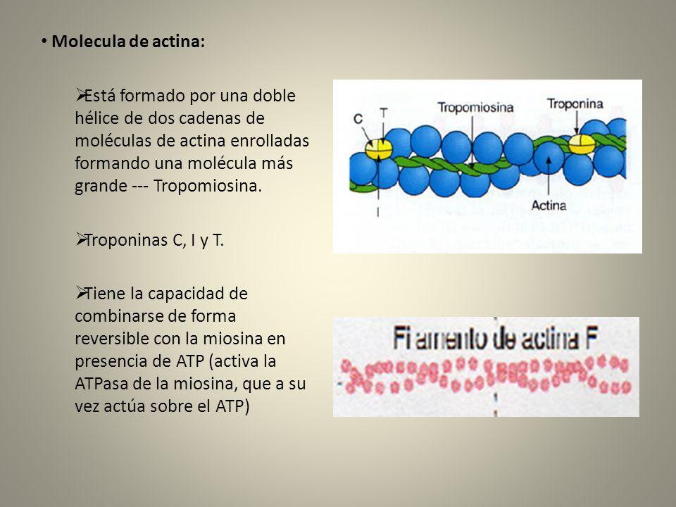 El potencial de acción se produce por la apertura de dos tipos de canales: 1.Canales rápidos de sodio.