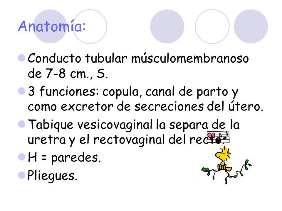Anatomía: Conducto tubular músculomembranoso de 7-8 cm., S. 3 funciones: copula, canal de parto y como excretor de secreciones del útero. Tabique vesi