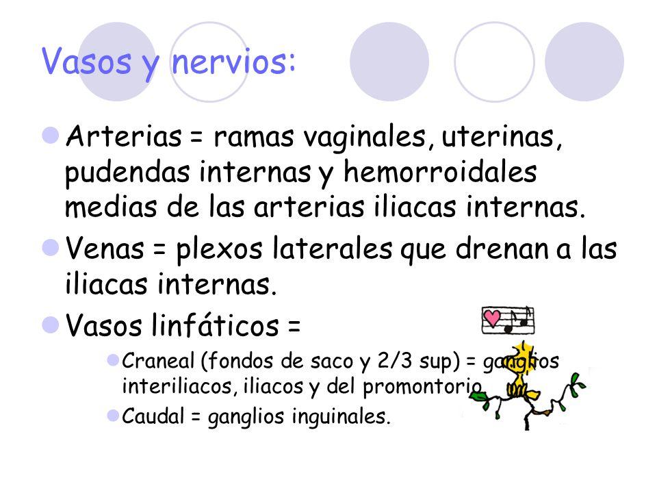 Vasos y nervios: Arterias = ramas vaginales, uterinas, pudendas internas y hemorroidales medias de las arterias iliacas internas. Venas = plexos later