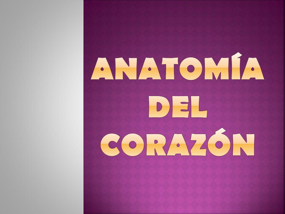 Identificar las características anatómicas cardiacas.