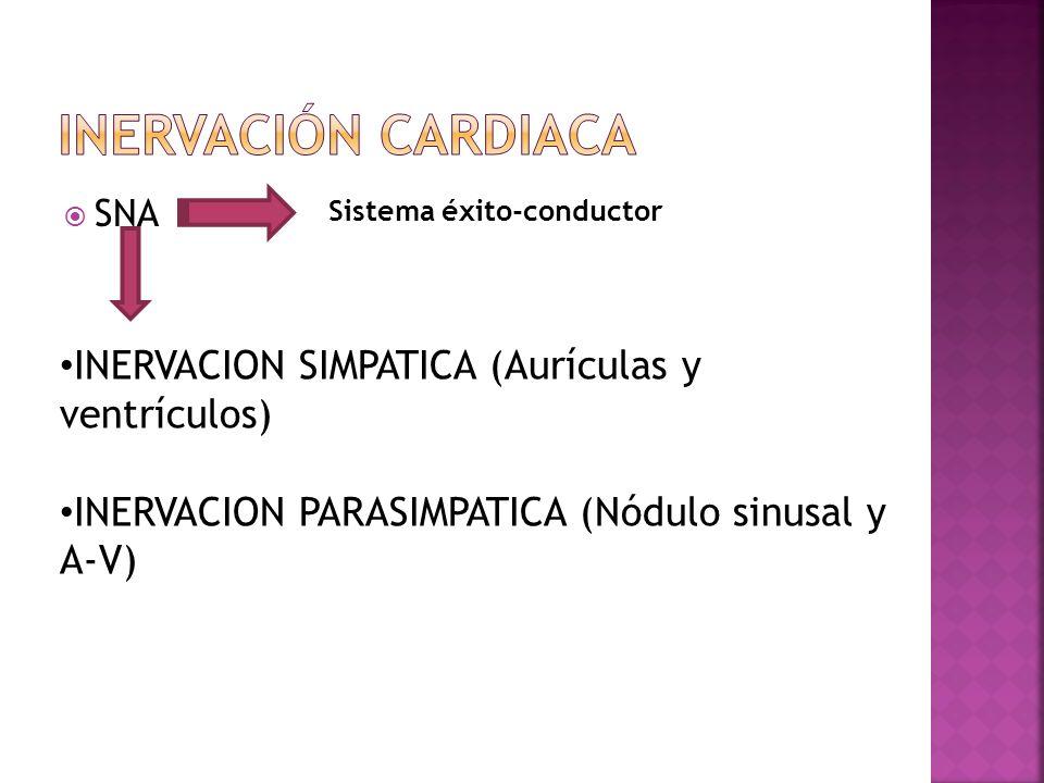 SNA Sistema éxito-conductor INERVACION SIMPATICA (Aurículas y ventrículos) INERVACION PARASIMPATICA (Nódulo sinusal y A-V)