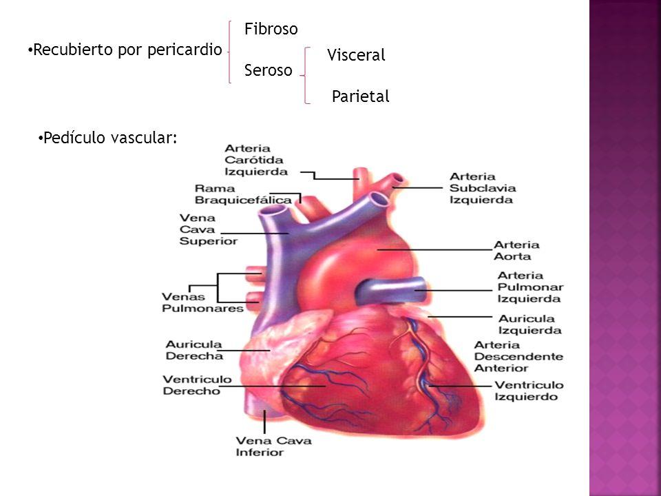 Recubierto por pericardio Fibroso Seroso Pedículo vascular: Visceral Parietal