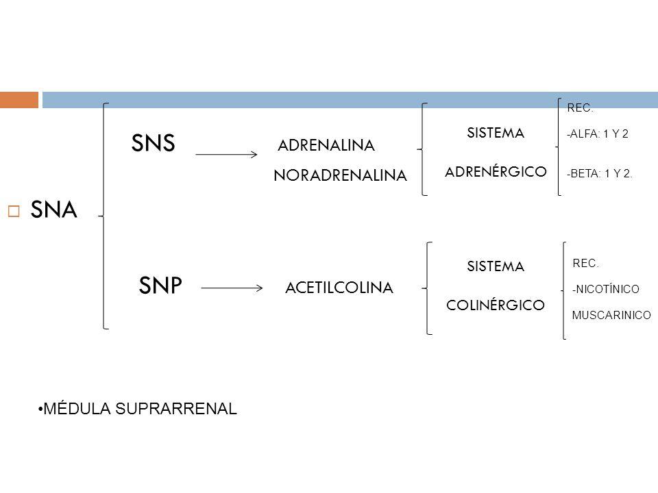 SNS ADRENALINA NORADRENALINA SNA SNP ACETILCOLINA SISTEMA ADRENÉRGICO SISTEMA COLINÉRGICO REC. -ALFA: 1 Y 2 -BETA: 1 Y 2. REC. -NICOTÍNICO MUSCARINICO