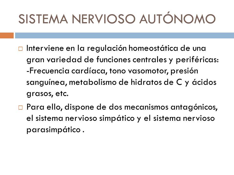 SISTEMA NERVIOSO AUTÓNOMO Interviene en la regulación homeostática de una gran variedad de funciones centrales y periféricas: -Frecuencia cardíaca, to