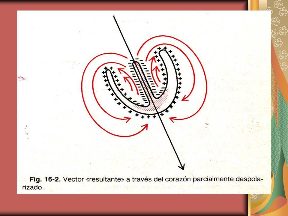 El vector resultante se obtiene apartir del centro de los ventrículos desde la base del corazón hacia la punta del mismo.
