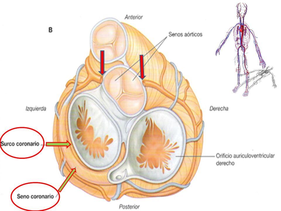 VENAS CORONARIAS: El seno coronario recibe cuatro tributarias principales: La mayor La media La menor Las venas cardiacas posteriores