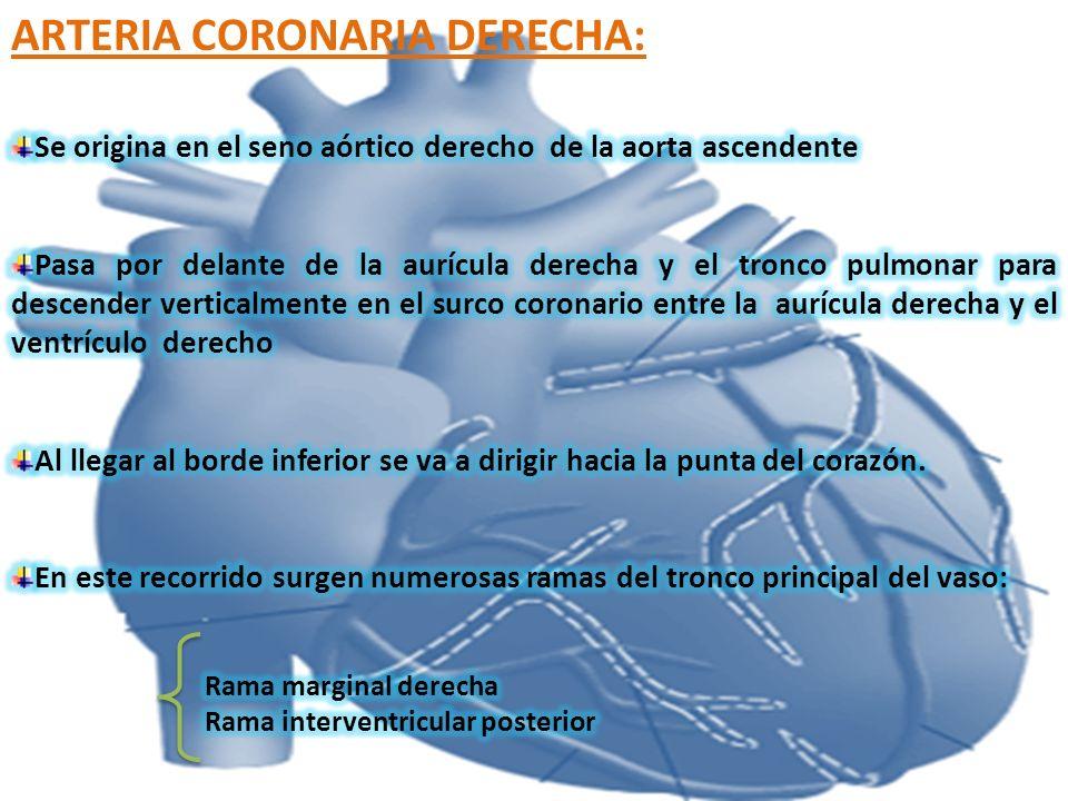 VENA CORONARIA MAYOR: Comienza en el vértice del corazón y asciende en el surco interventricular anterior donde se relaciona con la arteria interventricular anterior, llegando al seno coronario.