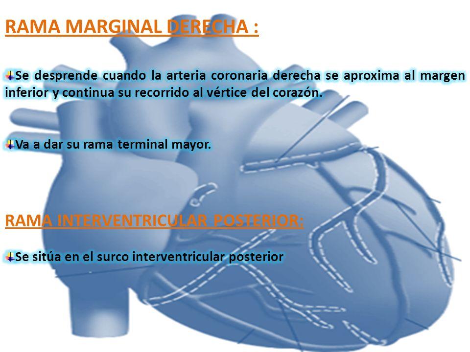 VENA CORONARIA MEDIA: (INTERVENTRICULAR POSTERIOR) Comienza cerca del vértice del corazón y asciende en el surco interventricular hacia el seno coronario.