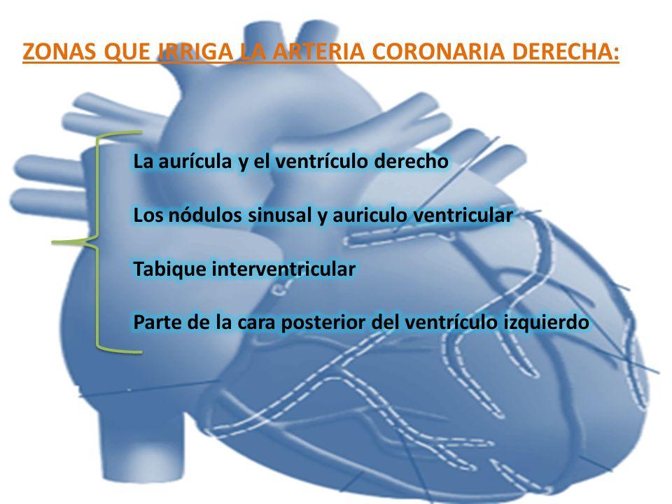 VENA CORONARIA POSTERIOR: Se sitúa en la cara posterior del ventrículo izquierdo, justo a la izquierda de la vena cardiaca media.