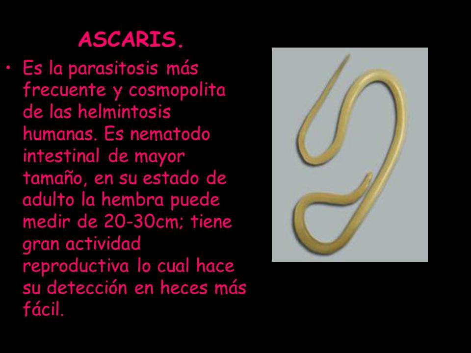 ASCARIS. Es la parasitosis más frecuente y cosmopolita de las helmintosis humanas. Es nematodo intestinal de mayor tamaño, en su estado de adulto la h