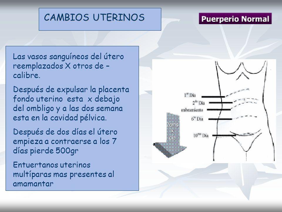 CAMBIOS UTERINOS Las vasos sanguíneos del útero reemplazados X otros de – calibre. Después de expulsar la placenta fondo uterino esta x debajo del omb