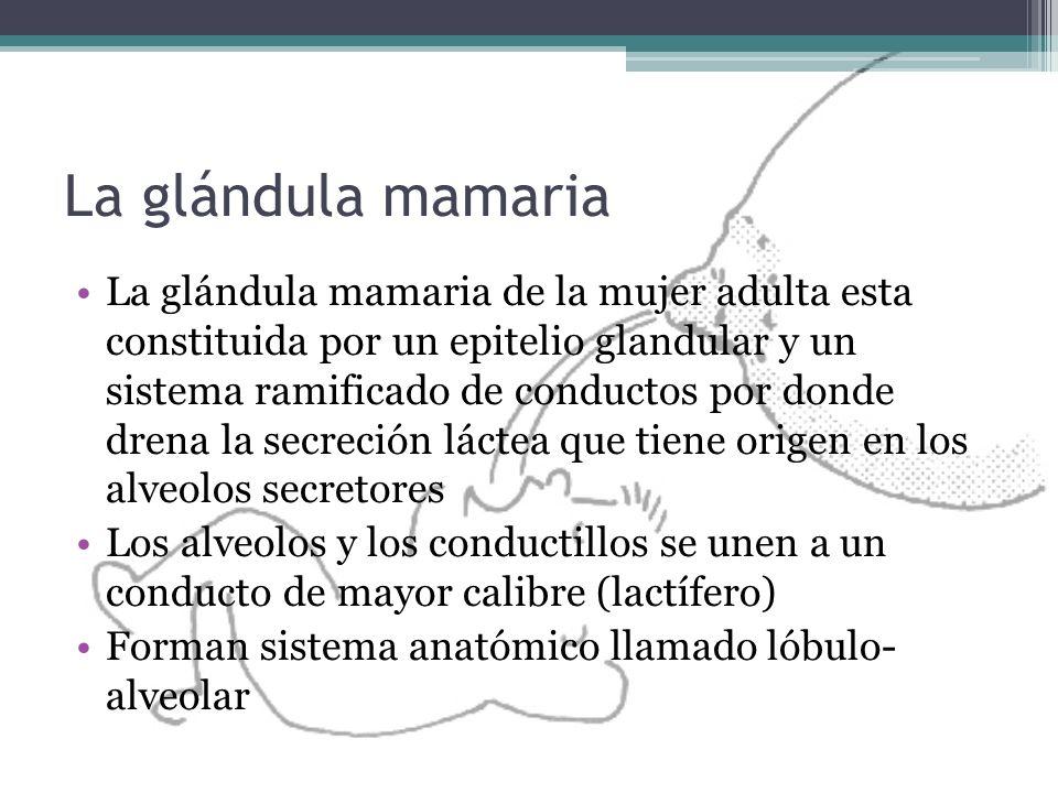 La glándula mamaria La glándula mamaria de la mujer adulta esta constituida por un epitelio glandular y un sistema ramificado de conductos por donde d