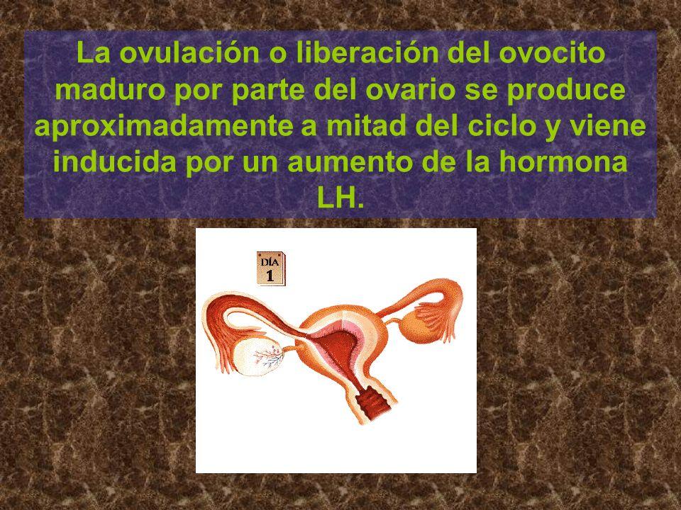 La ovulación o liberación del ovocito maduro por parte del ovario se produce aproximadamente a mitad del ciclo y viene inducida por un aumento de la h