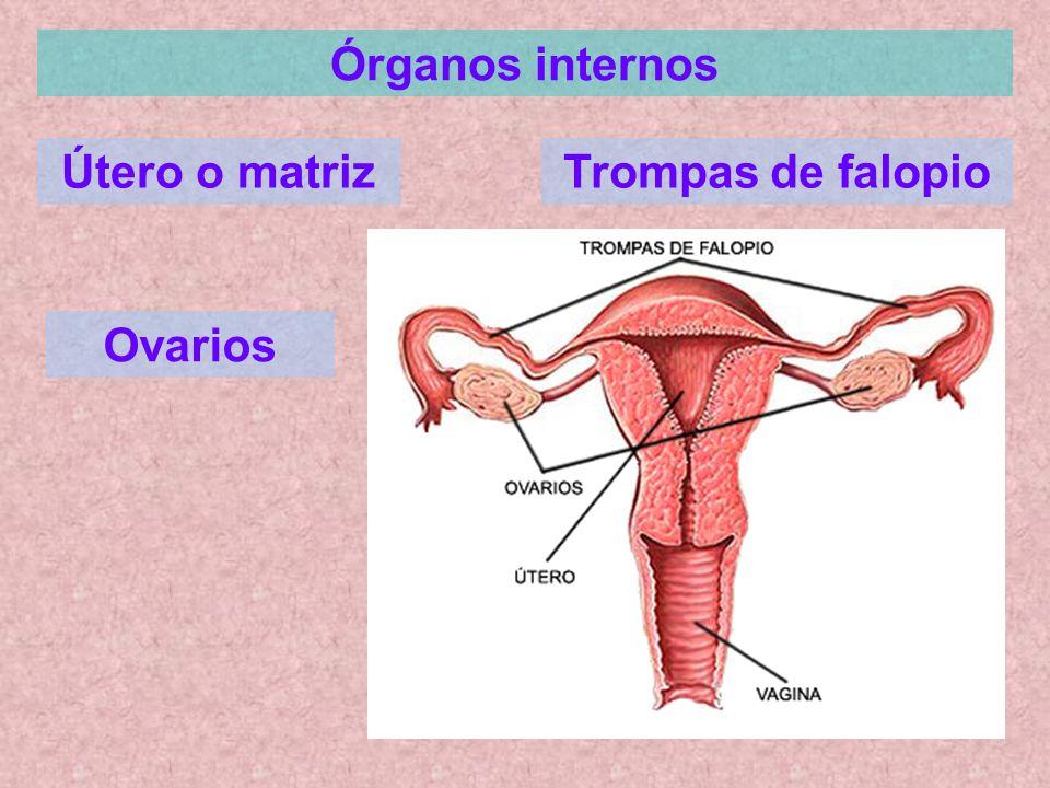 Órganos internos Útero o matrizTrompas de falopio Ovarios