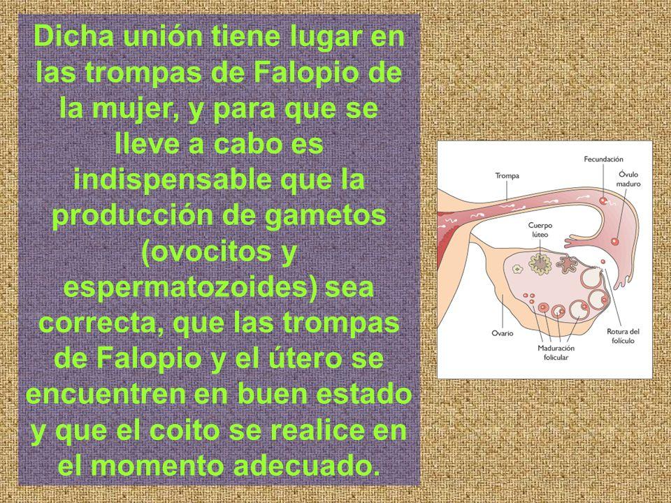 Dicha unión tiene lugar en las trompas de Falopio de la mujer, y para que se lleve a cabo es indispensable que la producción de gametos (ovocitos y es