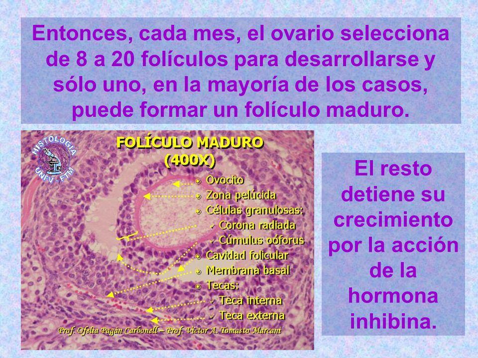 Entonces, cada mes, el ovario selecciona de 8 a 20 folículos para desarrollarse y sólo uno, en la mayoría de los casos, puede formar un folículo madur