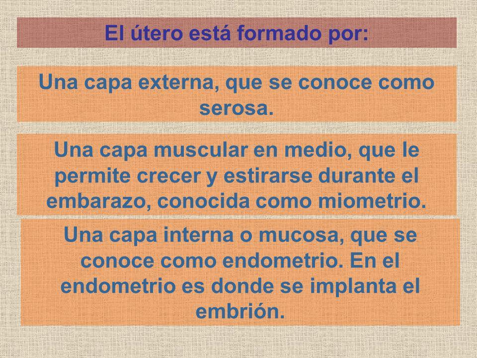 El útero está formado por: Una capa externa, que se conoce como serosa. Una capa muscular en medio, que le permite crecer y estirarse durante el embar